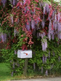 Wisteria Blooms & Hawthorn Tree Blossoms Photographic Print by Steve Terrill