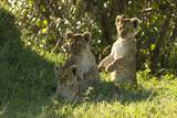 Africa Lion Cubs Playing Photographic Print by Mary Ann McDonald