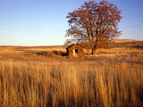Shed and Locust Tree in Evening Light Photographic Print by Steve Terrill