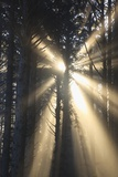 Sunrise through Morning Fog and Trees, Oregon Coast, Pacific Northwest Photographic Print by Craig Tuttle
