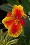 Close up View of Yellow-Edged Red Canna Lily Blossom in Garden Setting Photographic Print by Timothy Hearsum