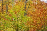 Beech Forest in Autumn Photographic Print by Frank Krahmer