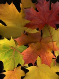 Autumn Maple Leaves Photographic Print by Steve Terrill