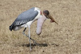 Marabou Stork Will Full Gllett Photographic Print by Hal Beral