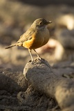 Rufous-Bellied Thrush on Rock Reproduction photographique par MaryAnn McDonald