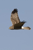Northern Harrier in Flight Photographic Print by Hal Beral