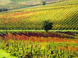 Autumn Vineyards in Full Color near Montepulciano Photographic Print by Terry Eggers