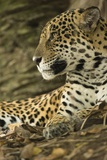 Jaguar Profile Photographic Print by Joe McDonald