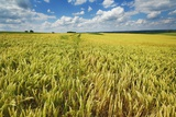 Barley Field and Cumulonimbus Clouds Photographic Print by Frank Krahmer