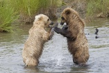Brown (Grizzly) Bears Fighting over a Fish Photographic Print by Hal Beral