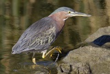 Green Heron Hunting Photographic Print by Hal Beral