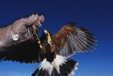 Harris' Hawk Returning to Falconer Photographic Print by W. Perry Conway