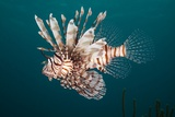 Lionfish Photographic Print by Michele Westmorland