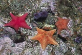 Bat Stars with Purple Sea Urchins Photographic Print by Hal Beral