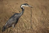 Black-Headed Heron Eating a Snake Photographic Print by Hal Beral