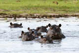 Hippopotamus, Okavango Delta Fotografisk tryk af Sergio Pitamitz