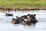 Hippopotamus, Okavango Delta Lámina fotográfica por Sergio Pitamitz