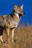 Male Coyote on the Prairie Photographic Print by W. Perry Conway
