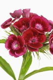 Sweet William Photographic Print by Frank Krahmer