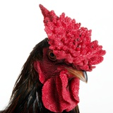 Derbyshire Redcap Rooster Photographic Print by Robert Dowling
