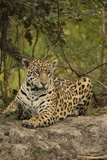 Jaguar Resting on Riverbank Photographic Print by Joe McDonald