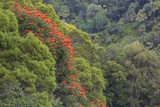 Tulip Trees Blooming in the Maui Forest along the Hana Highway Photographic Print by Terry Eggers