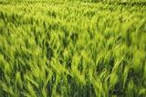 Barley Photographic Print by Frank Krahmer