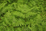 Ferns Photographic Print by Frank Krahmer