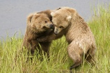 Brown (Grizzly) Bears Play Fighting Photographic Print by Hal Beral