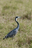 Black-Headed Heron Photographic Print by Sergio Pitamitz