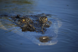 Saltwater Crocodile at Water's Surface Photographic Print by W. Perry Conway