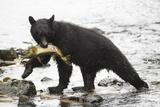 Black Bear Fishing Reproduction photographique par MaryAnn McDonald