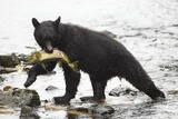 Black Bear Fishing Photographic Print by MaryAnn McDonald