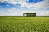 Wheat Field and Poplar Grove Photographic Print by Frank Krahmer