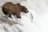 Brown (Grizzly) Bear about to Catch a Leaping Salmon Photographic Print by Hal Beral