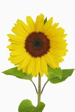 Sunflower Photographic Print by Frank Krahmer