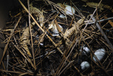 Young Saltwater Crocodiles and Eggs in Nest Impressão fotográfica por W. Perry Conway