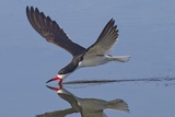 Black Skimmer Skimming Photographic Print by Hal Beral