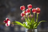 A Vase of Red and White Tulips Sitting in a Window in the Sunshine Photographic Print by Buddy Mays