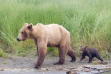 Brown (Grizzly) Bear Mother and Cub Photographic Print by Hal Beral