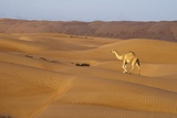 A Wild Camel Walking on Sand Dunes. Photographic Print by Sergio Pitamitz