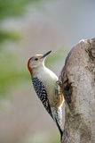 Red-Bellied Woodpecker, Mcleansville, North Carolina, USA Photographic Print by Gary Carter