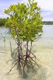 Fadil Aziz/Alcibbum Photography - Young Mangrove Trees Fotografická reprodukce