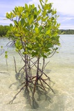 Young Mangrove Trees Photographic Print by Fadil Aziz/Alcibbum Photography