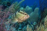 Nassau Grouper (Epinephelus Striatus) Photographic Print by Stephen Frink