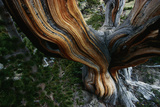Close-Up of Trunk of Bristlecone Pine Tree Photographic Print by W. Perry Conway