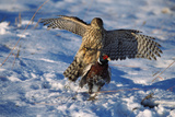 Male Goshawk Catching a Pheasant Photographic Print by W. Perry Conway