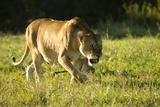 African Lion Agressive Female Papier Photo par Mary Ann McDonald