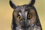 Long-Eared Owl Photographic Print by W. Perry Conway