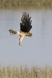 Northern Harrier with Talons Extended to Strike Photographic Print by Hal Beral